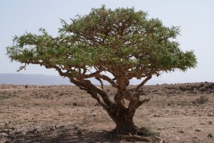 frank-tree
